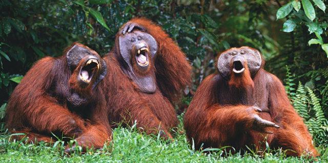 laughing-monkeys